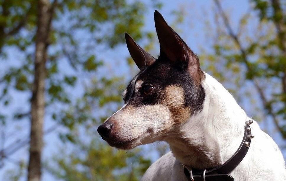 Норвич-терьер: описание породы, характер собаки и щенка, фото, цена