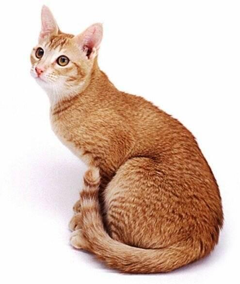 Цейлонская кошка: фото, видео, описание породы, характер, питомники