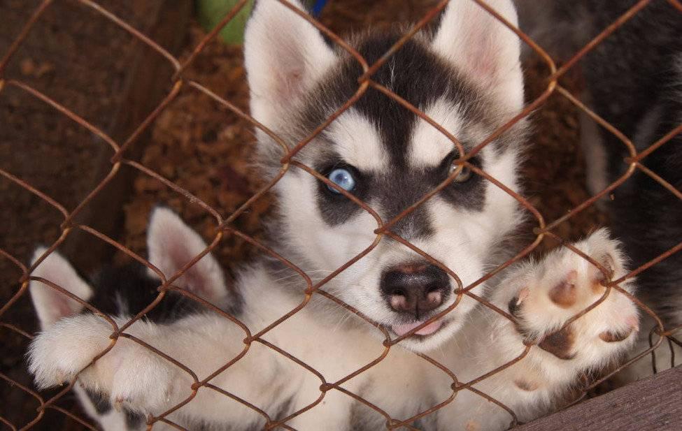 Характеристика породы собак «хаски»: описание стандарта, плюсы и минусы, правила содержания и отзывы владельцев
