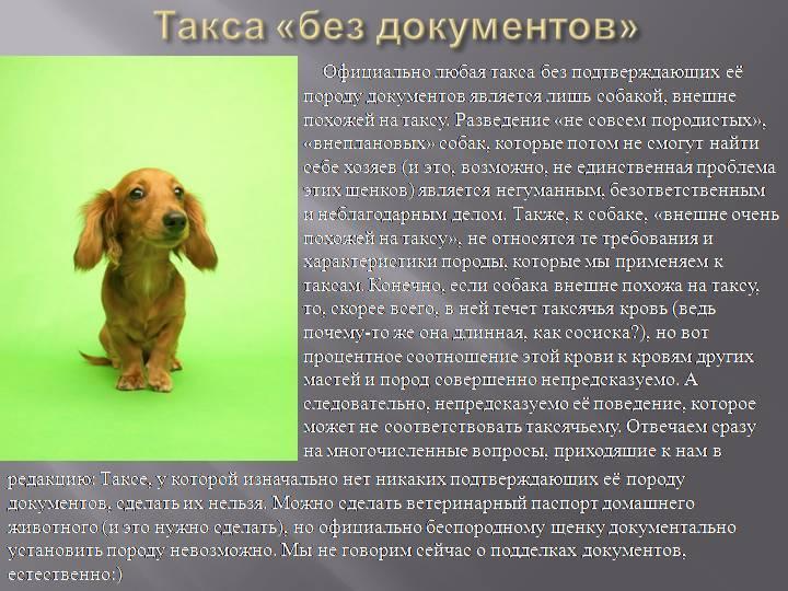 Такса (79 фото): описание породы и характера собак, характеристика видов. как выглядят? как подстричь? отзывы владельцев