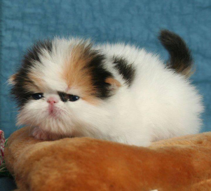 Топ – 10 самых маленьких пород кошек в мире