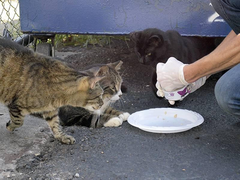 Как поймать дикого котенка, который боится людей, или взрослую одичавшую домашнюю кошку?