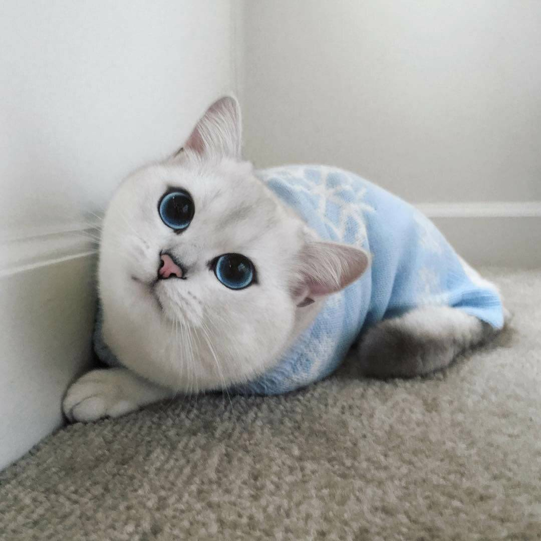 Породы котов с плоской мордой