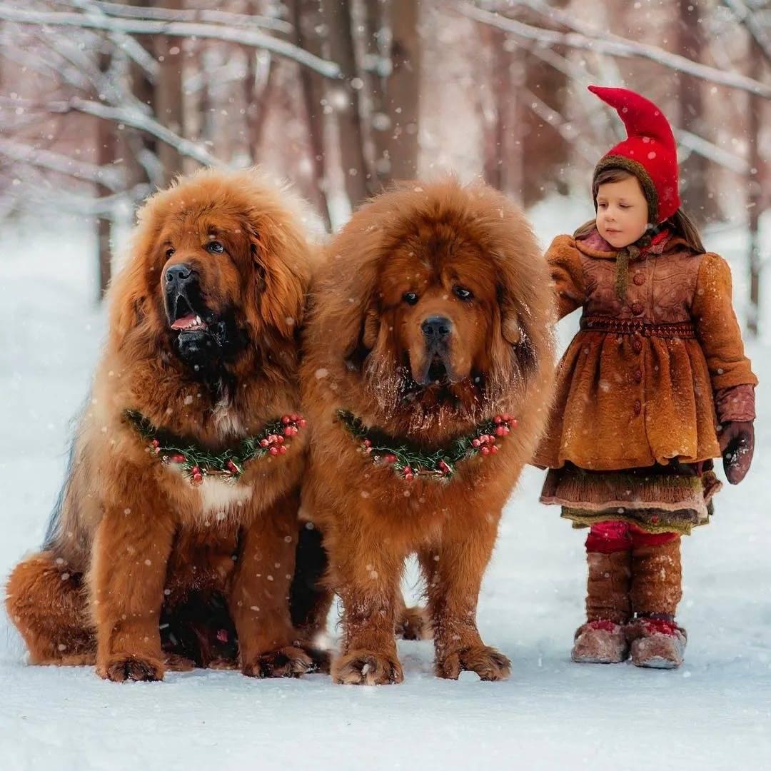 Топ 8 самых больших пород собак в мире. 50 фото
