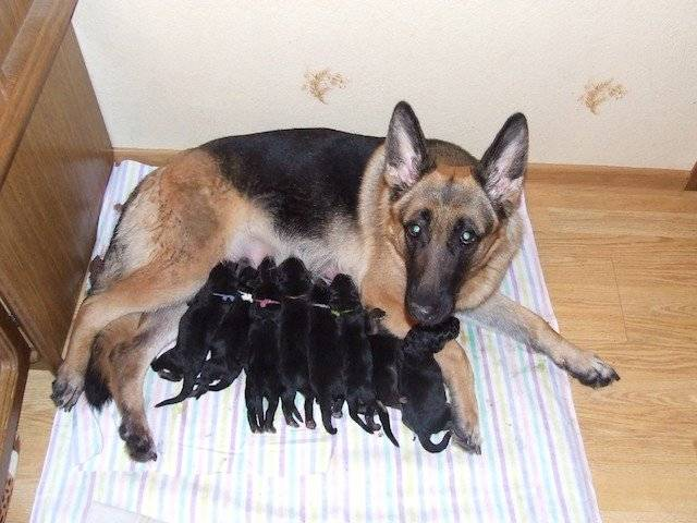 Описание и содержание щенка немецкой овчарки в 1 месяц