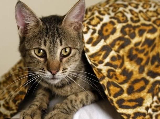 Бенгальский леопардовый кот: особенности породы, уход и цена за котенка