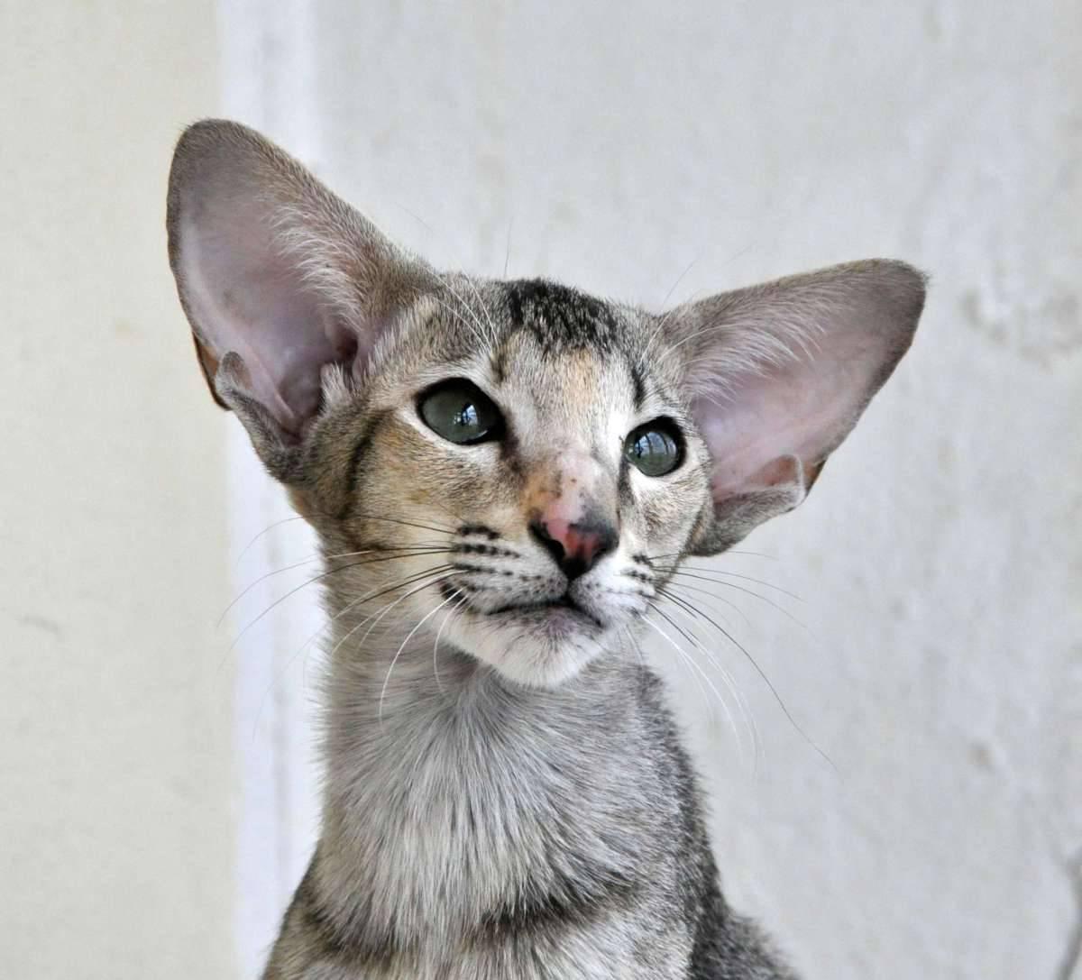 Породы вислоухих кошек. особенности видов, окраса. отличия по шерсти, ушам. внешность, характер, заболевания. стоимость котенка.