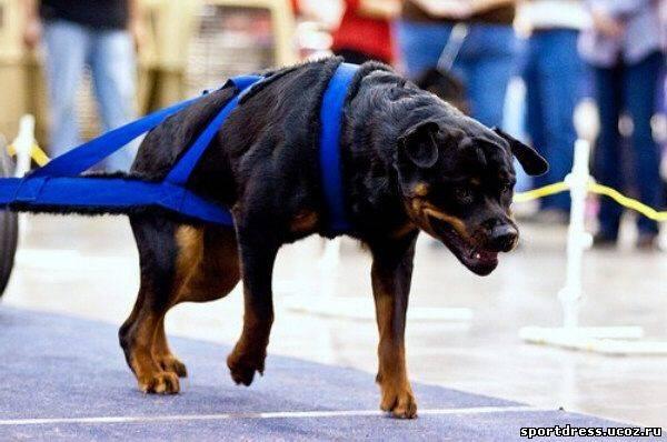 Топ 10 самые опасные породы собак в мире - лучшие топ 10
