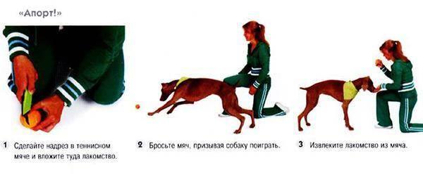 Общий курс дрессировки (окд): что входит, правила испытаний