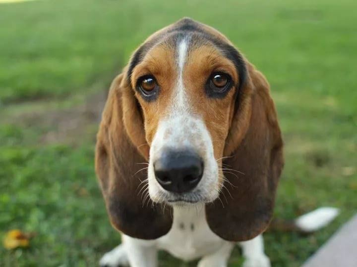 Собаки с висячими ушами: названия, внешний вид, характер