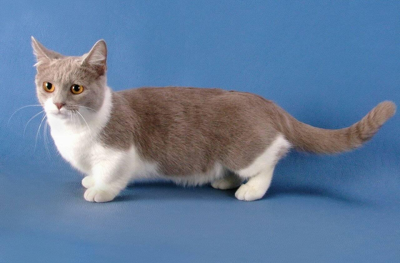 Кошка манчкин: цена, фотои видео, описание породы, отзывы владельцев