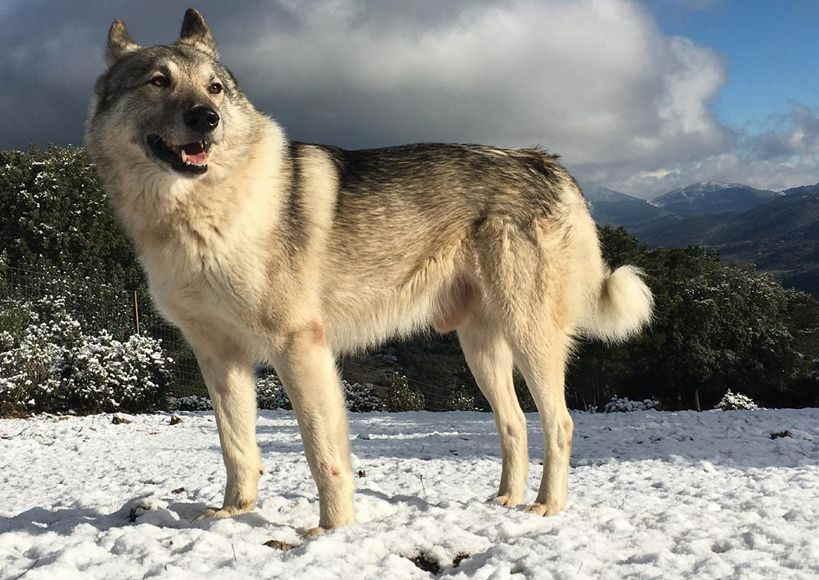 Русские породы собак (32 фото): список пород собак, выведенных в россии
