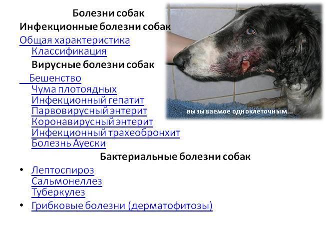 Пироплазмоз у собак: симптомы, лечение, профилактика