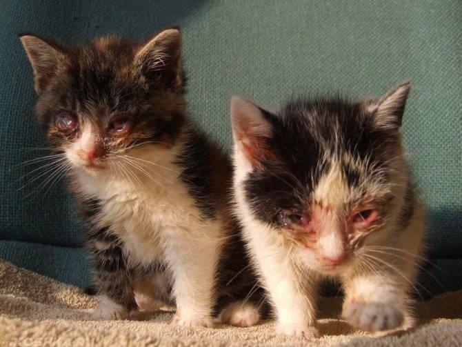Инфекционный ринотрахеит кошек - вирусное заболевание