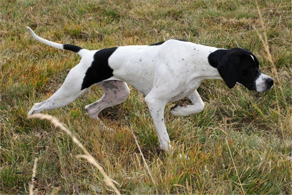 Пойнтер собака. описание, особенности, уход и цена пойнтера