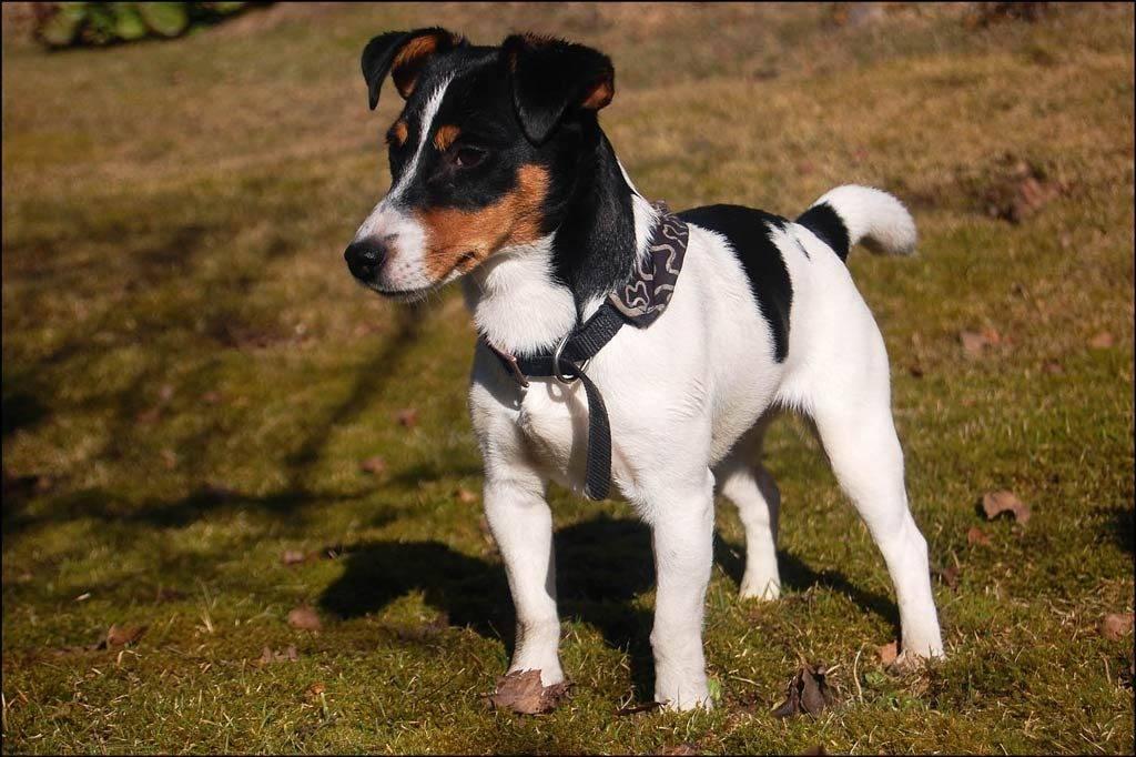 Джек-рассел-терьер – как выбрать щенка, особенности ухода, содержания и дрессировки, возможные болезни