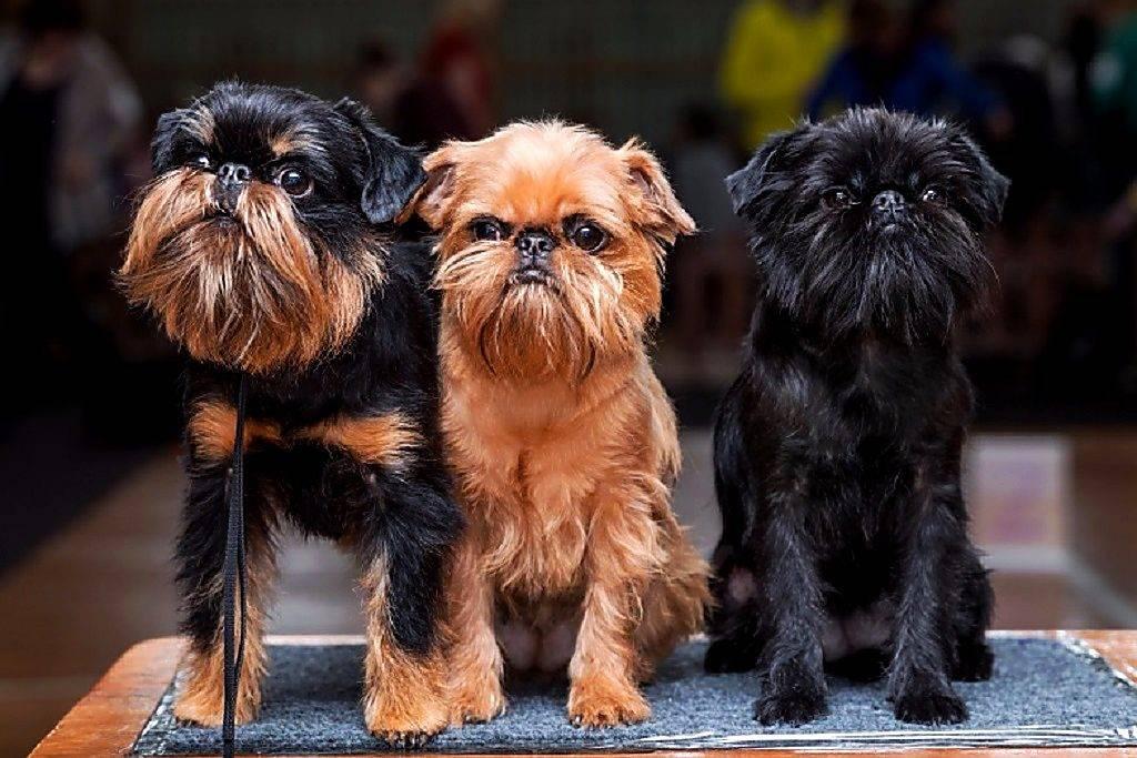 Бельгийский гриффон: все о собаке, фото, описание породы, характер, цена