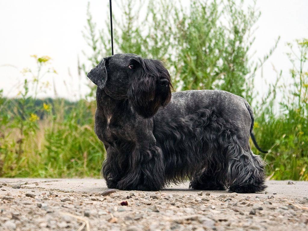 Скай терьер: описание породы собак с фото и видео