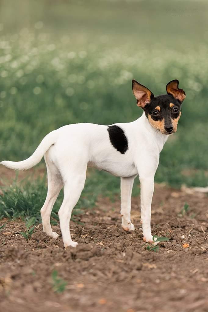 Американский той фокстерьер: описание и характеристика породы, содержание и уход, характер собаки