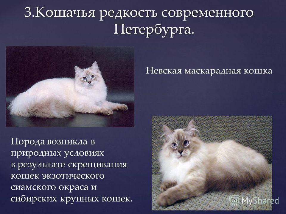 Невская маскарадная кошка: фото, описание породы, характер, здоровье, уход и содержание