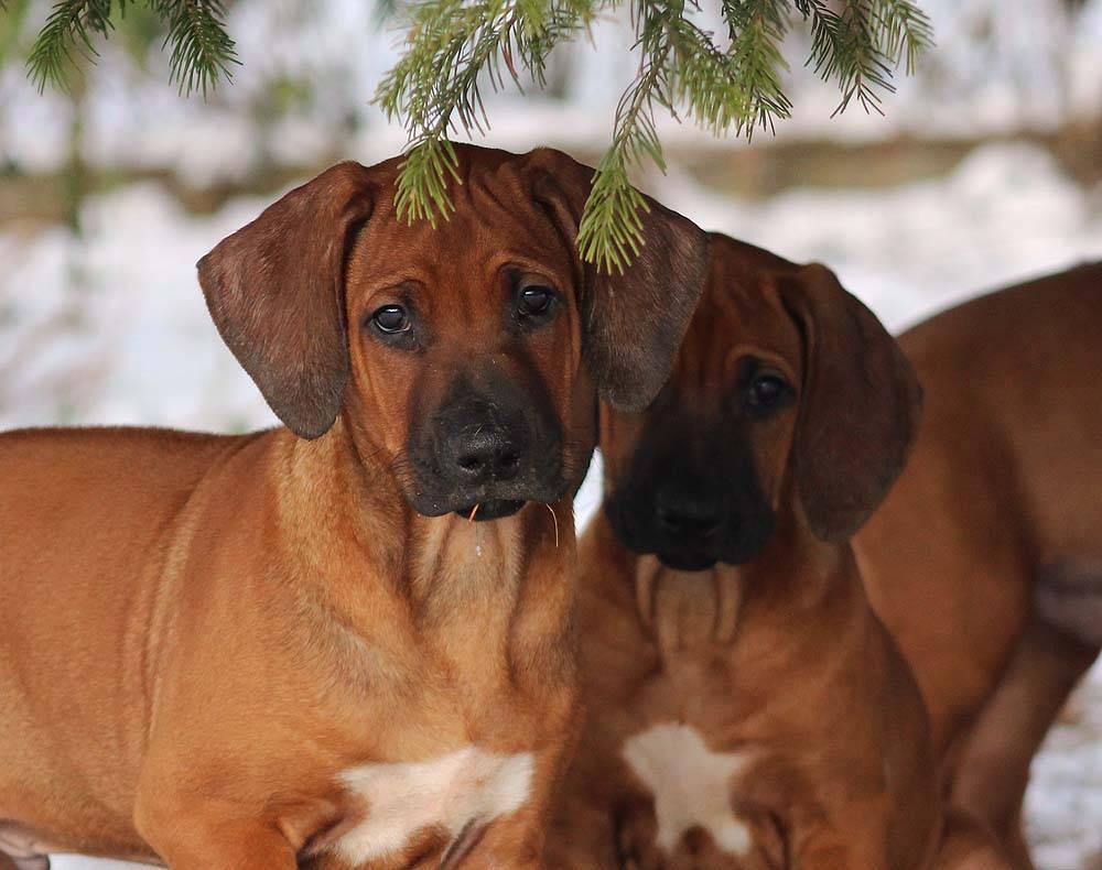 Родезийский риджбек - 125 фото собаки, выбор щенков, характер и характеристика породы