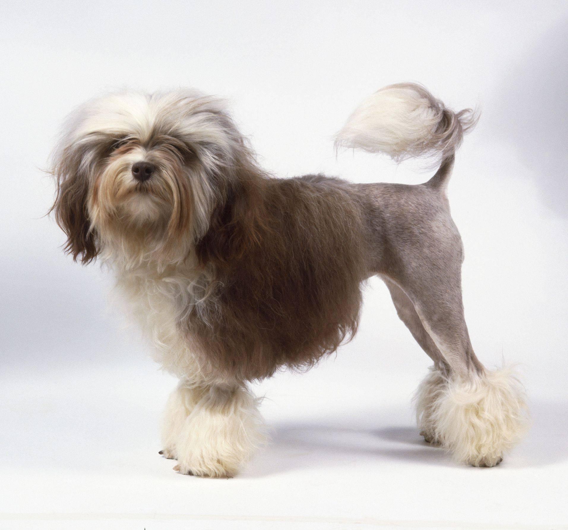 Малая львиная собака — википедия