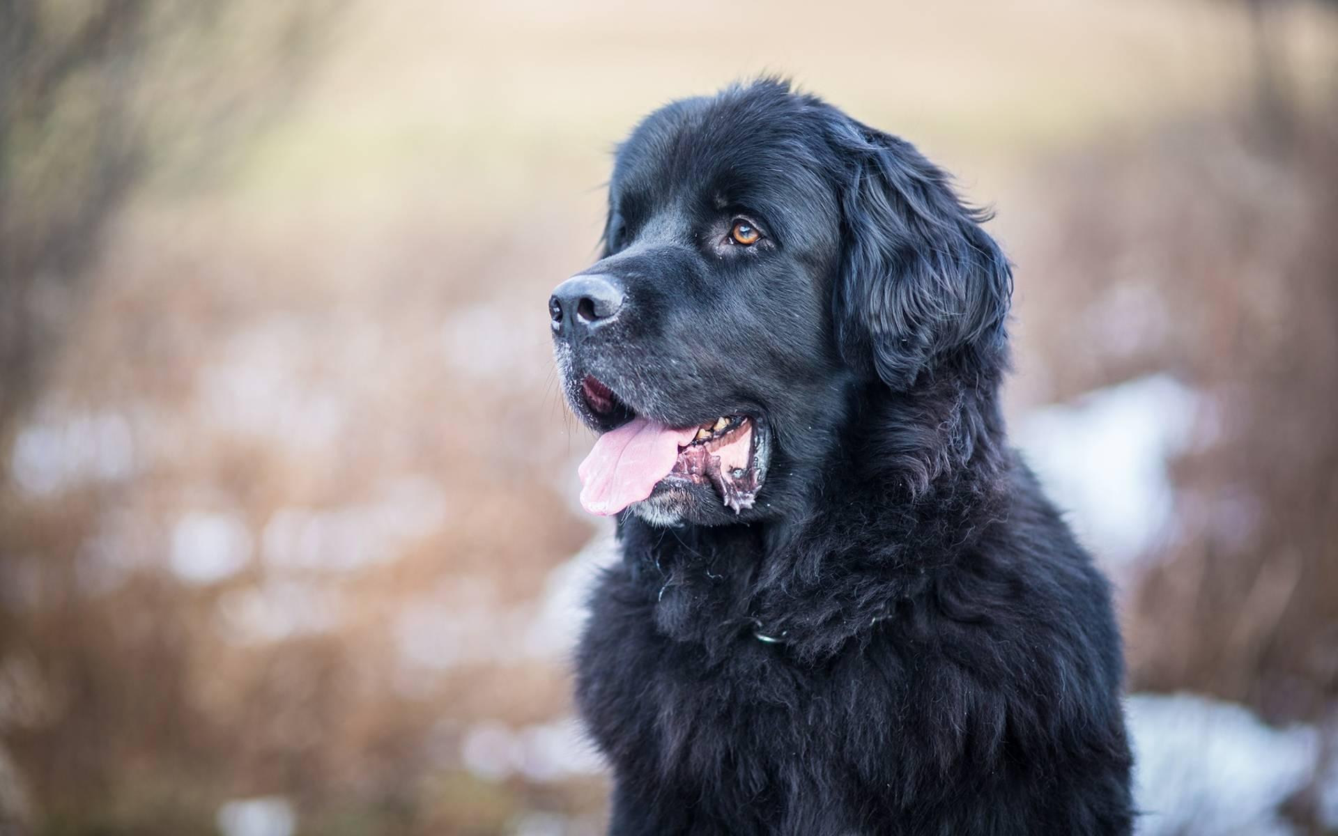 Ньюфаундленд — описание породы, характеристика, уход, фото ньюфаундлендов и многое другое