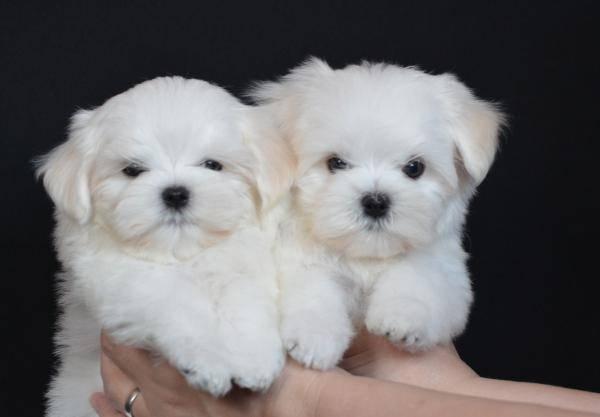 Существуют ли собаки мини и микро мальтезе: отличия от стандартных