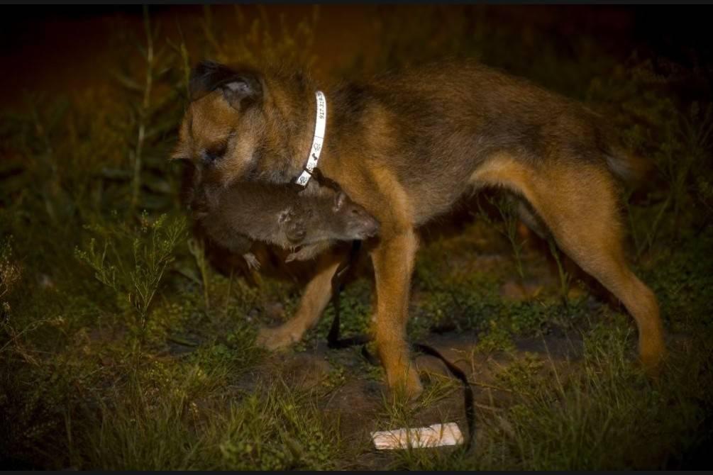 Породы собак, которые успешно ловят крыс — объясняем по полочкам