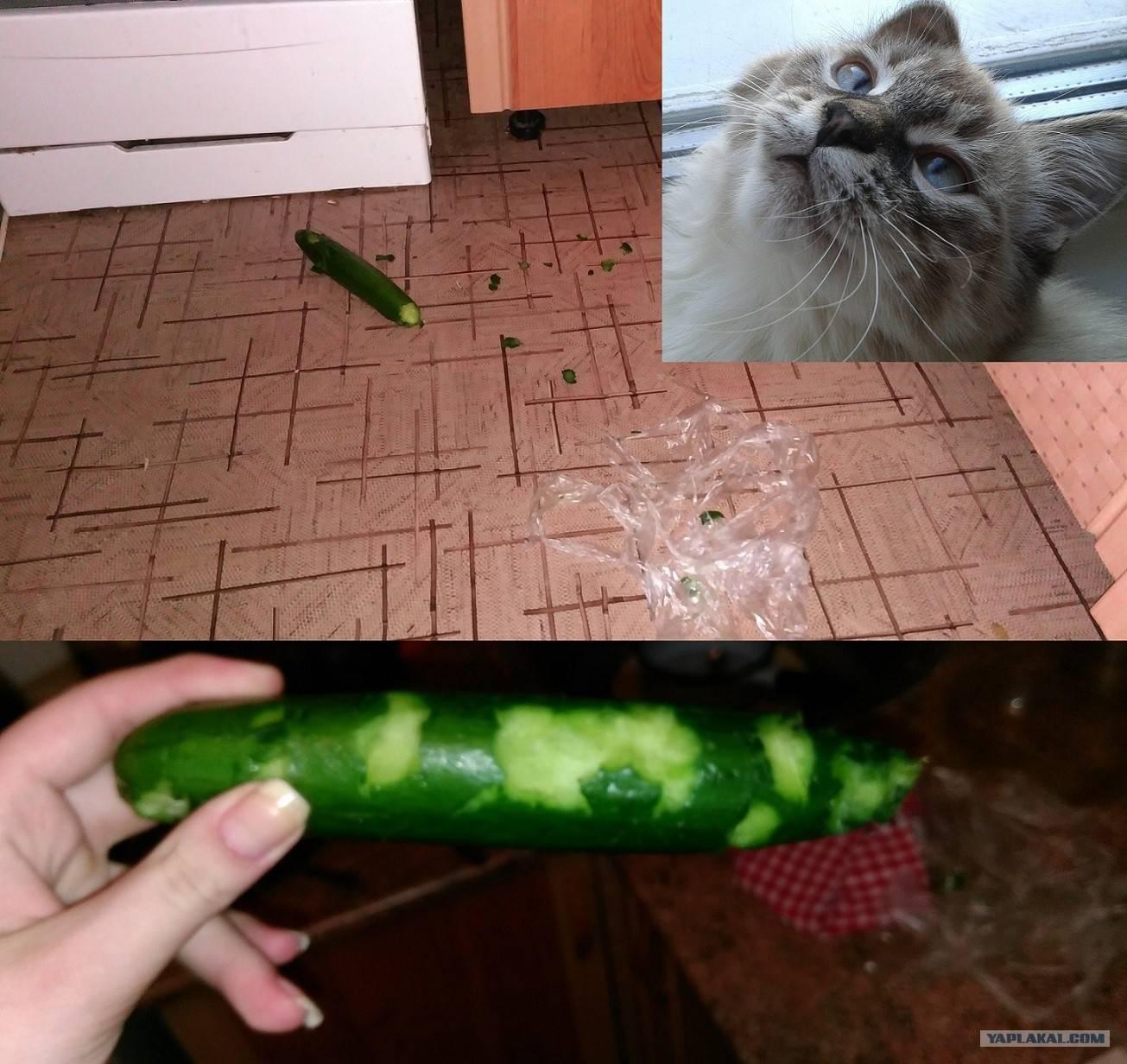 Кошачья огурцофобия: почему же кошки боятся огурцов?