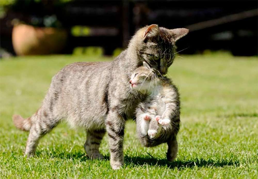 Почему коты убивают котят и что чувствует кошка, лишившись своих котят? - всё о кошках и котах