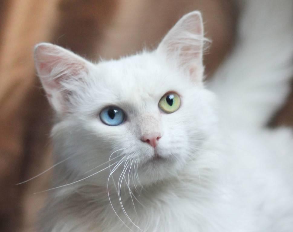 Почему белые и голубоглазые кошки глухие от рождения? | gafki.ru | яндекс дзен
