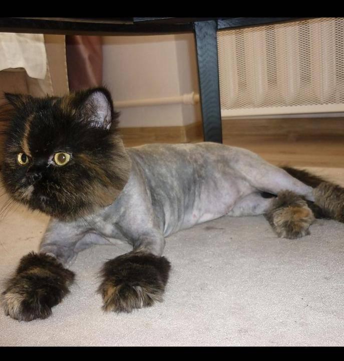 «кошек стричь опаснее, чем собак»: как работают стилисты для животных