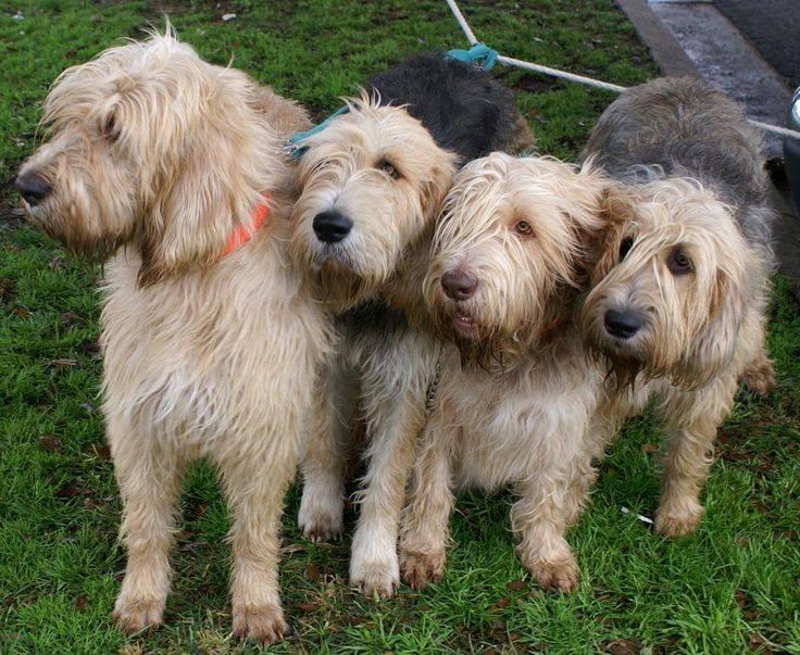Норные породы собак: описание пород, особенности воспитания, фото - truehunter.ru
