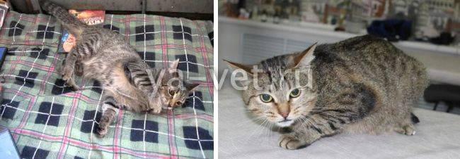Приступ эпилепсии у кошек - симптомы и лечение