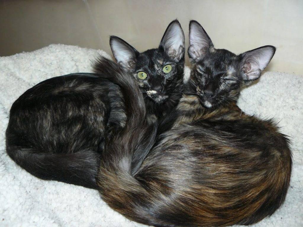 Яванская кошка: описание и характер породы, уход, фото
