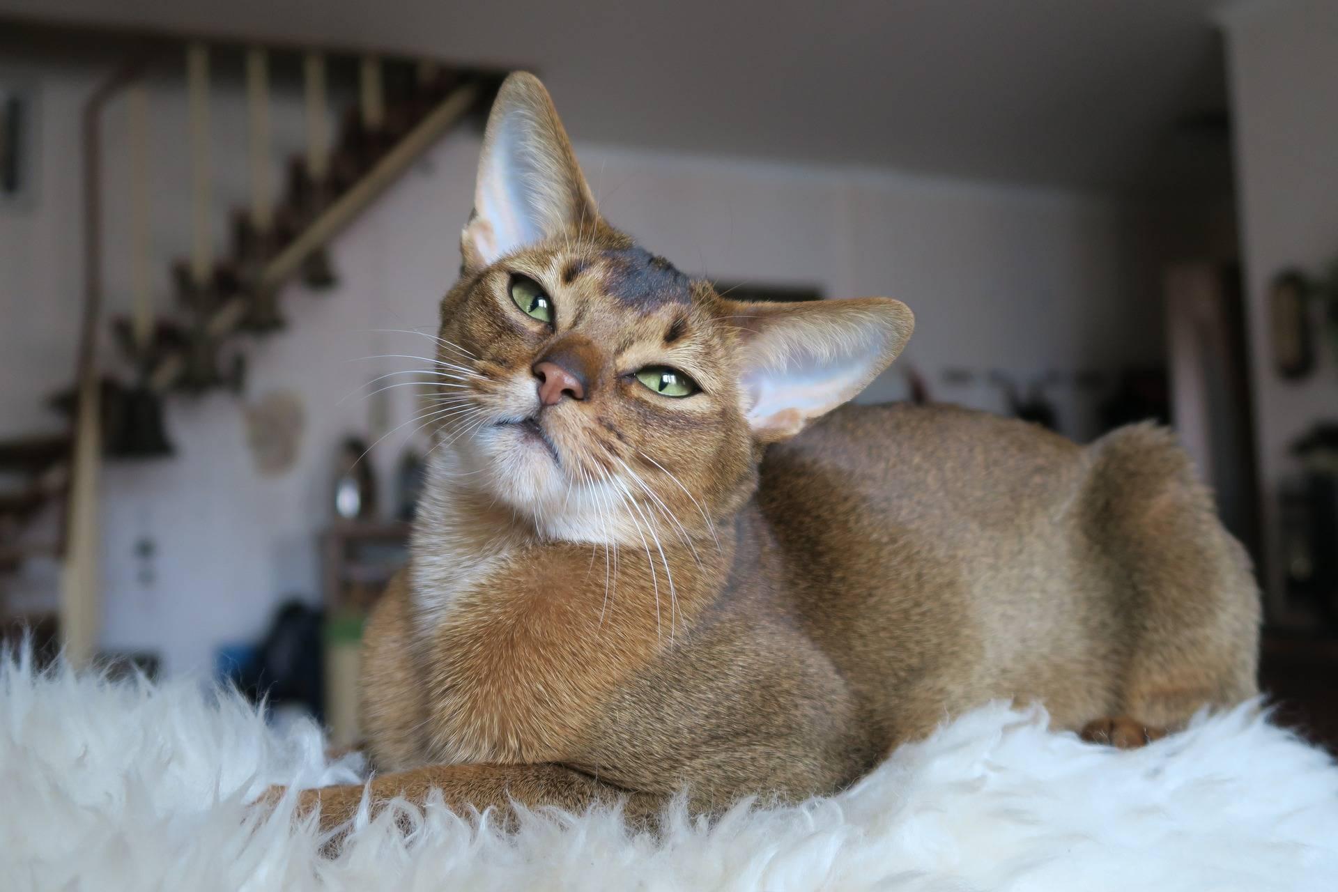 Самые ласковые породы кошек в мире: рейтинг с фото и названиями