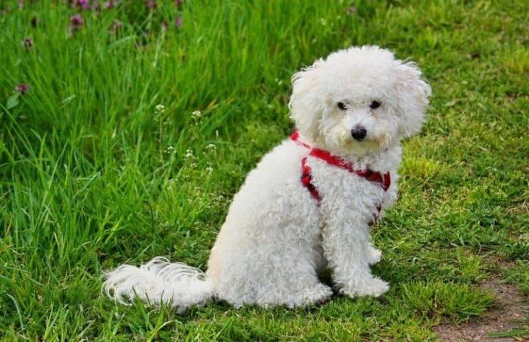 Итальянская болонка болоньез как отличная порода собак для дома и квартиры
