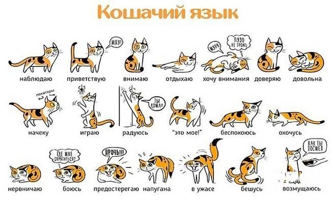 Язык тела кошек. как правильно понять, что хочет сказать питомец