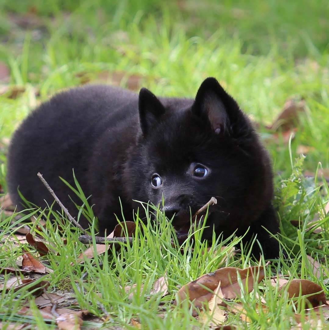 Шипперке: фото и описание породы, характиристики, уход, цена на собаку