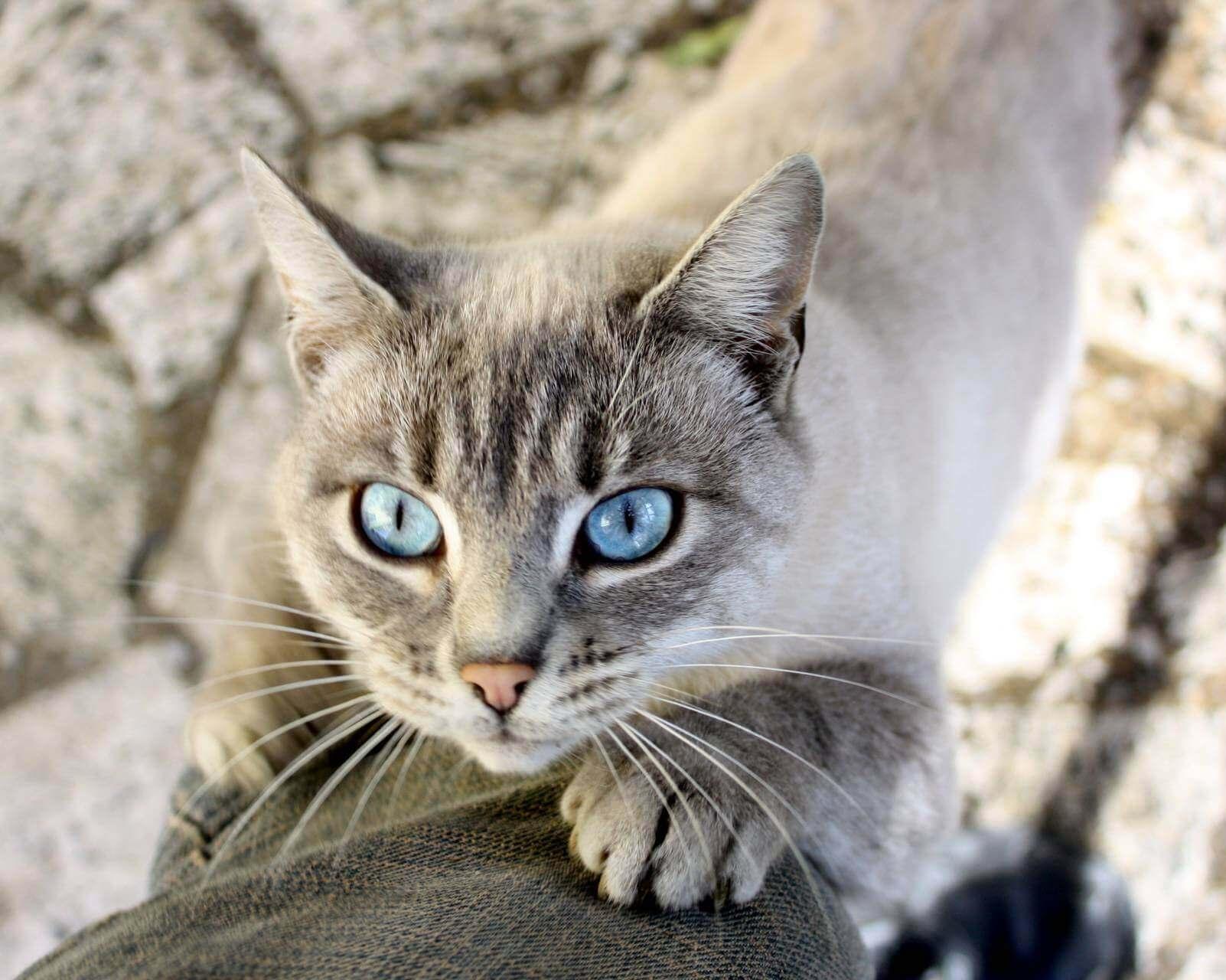Охос азулес (голубоглазка): обзор новой породы кошек с фото и видео