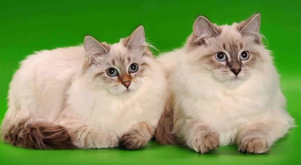 Невская маскарадная кошка: фото, описание, характер, содержание, отзывы