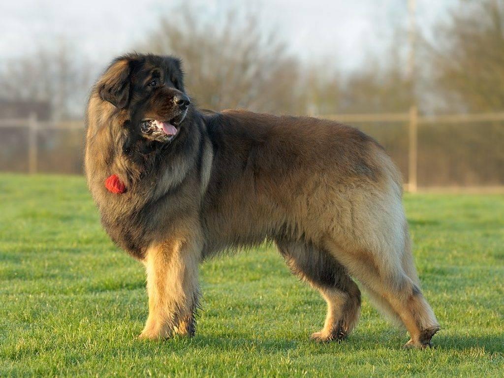 Самые большие собаки в мире ? - рейтинг топ 10