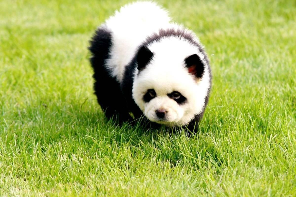 Чау-чау панда: что за порода и как выбрать щенка