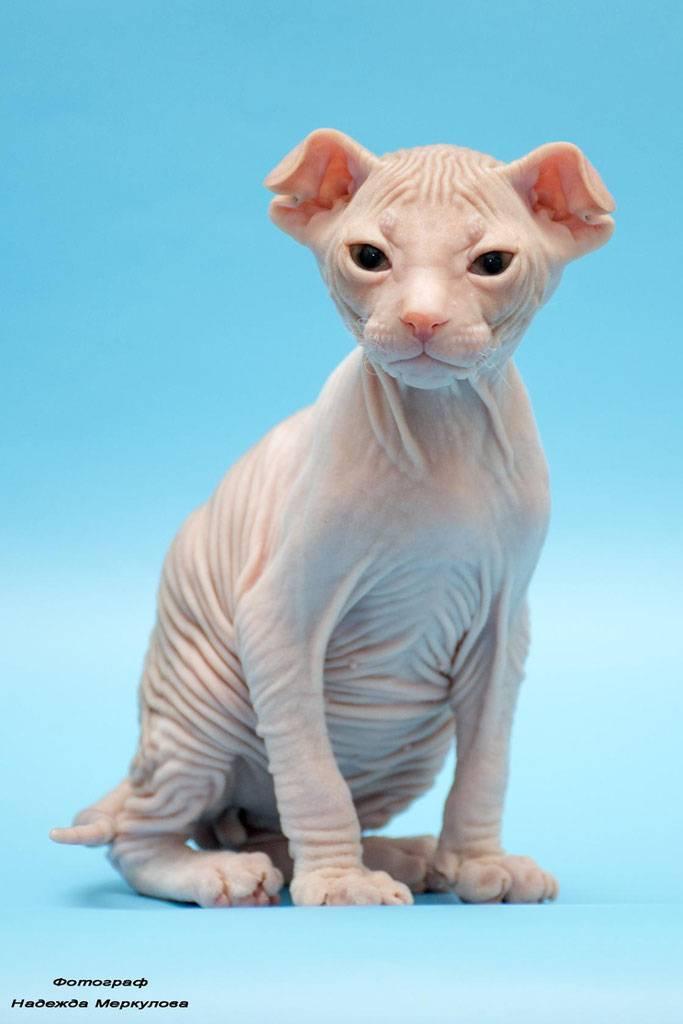 Сфинксы кошки: все виды лысых пород с описанием и фото