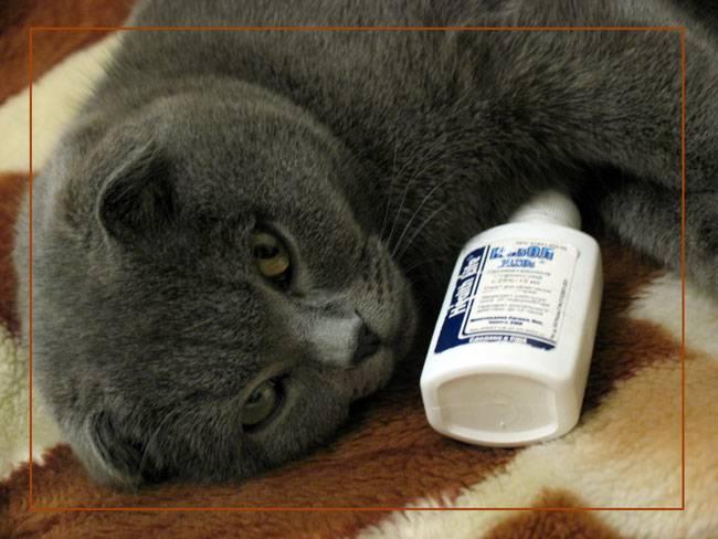 Кашель у кошек – это симптом! почему кашляет кот. причины кашля у кошек