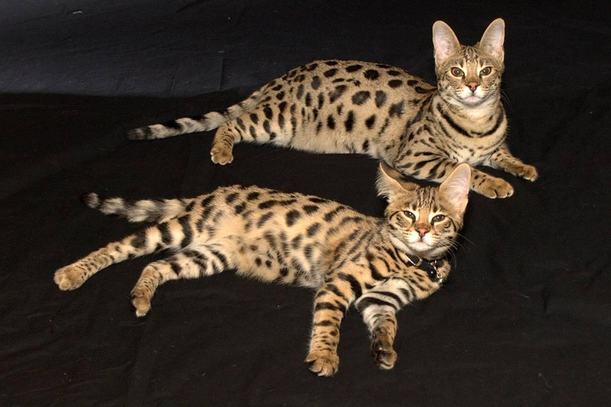 Кошка африканский сервал
