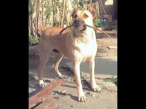 Уругвайский симаррон (уругвайская дикая собака, симаррон): фото, купить, видео, цена, содержание дома
