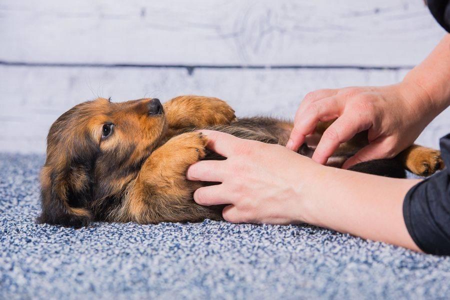 Почему щенок икает после еды: причины и что делать