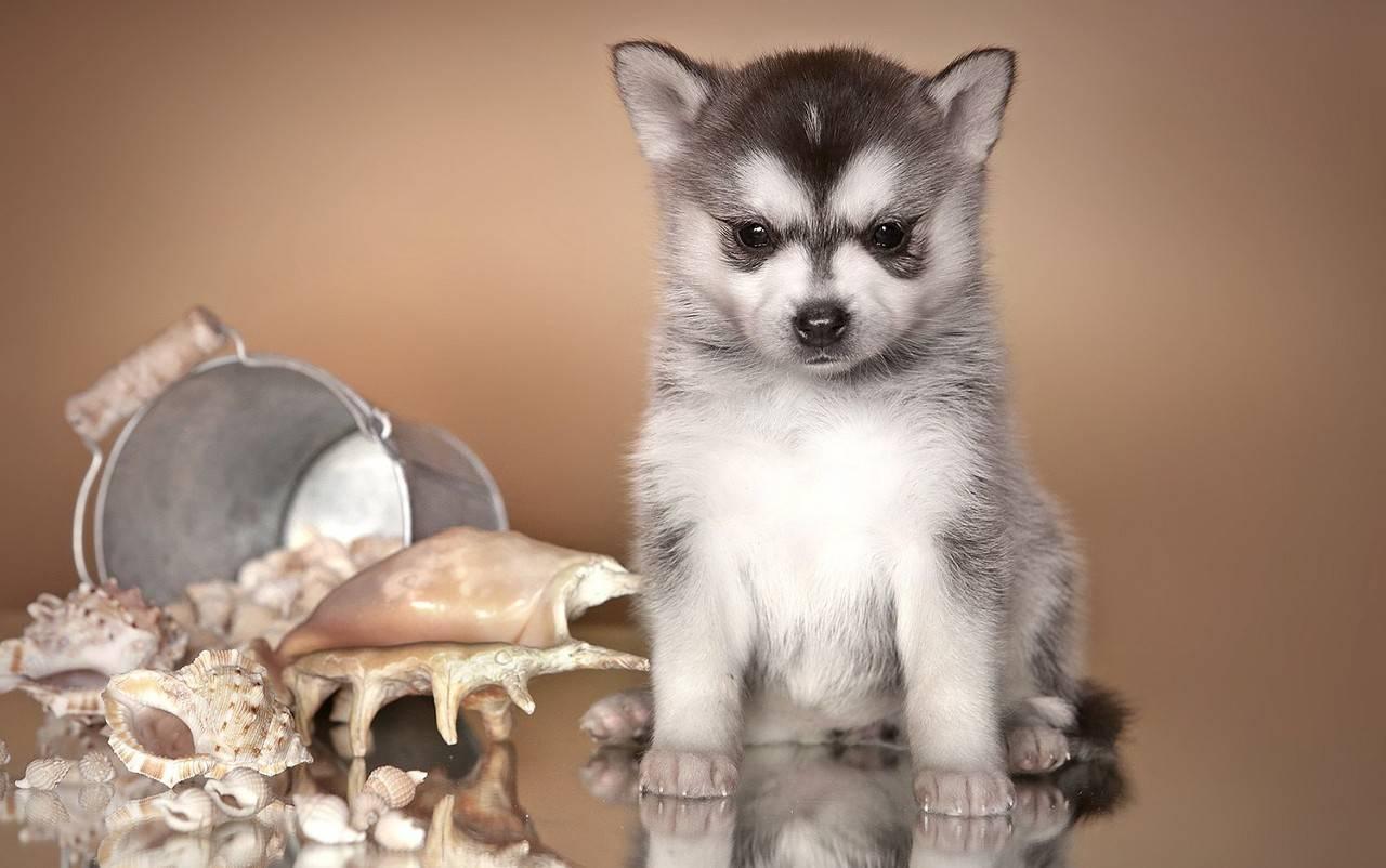 Аляскинский кли-кай: фото, описание, характер, содержание, отзывы